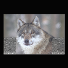 Wolf Canis lupus